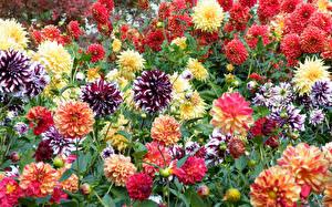 Обои Георгины Много Бутон Цветы