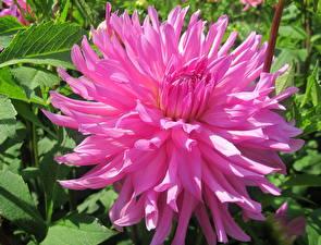 Фото Георгины Розы Крупным планом Розовая цветок