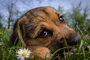Обои Собака Вблизи Щенка Смотрят Трава Морды Милые животное