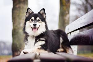 Картинка Собаки Скамейка Finnish Lapphund Животные
