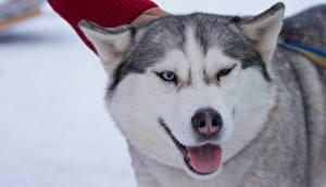 Картинки Собаки Хаски Язык (анатомия) Морда Взгляд