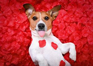 Картинки Собаки Джек-рассел-терьер Язык (анатомия) Лепестки Взгляд Животные