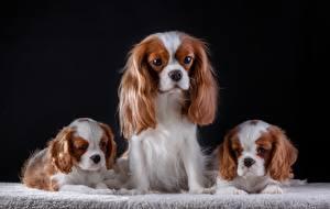 Фото Собака Кинг чарльз спаниель Щенков Трое 3 Животные