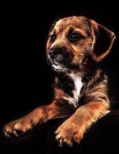 Картинка Собаки Щенок Черный фон Лапы
