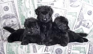 Картинки Собаки Щенок Втроем Овчарка Черных Животные