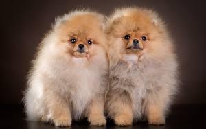 Обои Собаки Шпиц Два Пушистый Животные