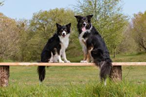 Фото Собаки Вдвоем Бордер-колли Скамейка Смотрит Животные