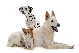 Обои Собаки Белый фон Трое 3 Далматин Чихуахуа Овчарка