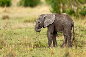 Картинки Слоны Детеныши Сбоку Трава Животные
