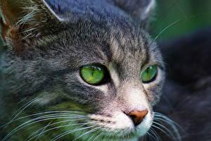 Обои Глаза Кошки Вблизи Морда Смотрят Животные