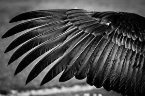 Фото Перья Вблизи Крылья Черно белое Животные