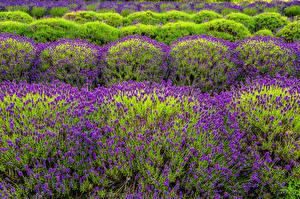Фотографии Поля Лаванда Много Цветы