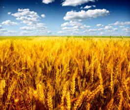 Фото Поля Небо Пшеница Колос Облака Природа