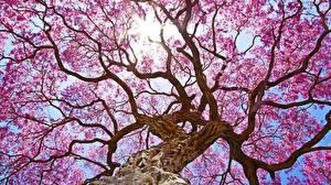 Картинки Цветущие деревья Деревья Ствол дерева Ветки Вид снизу Природа