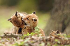 Фотографии Лисица Детеныши Двое Милые животное