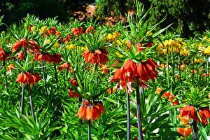 Картинка Рябчик Вблизи Цветы