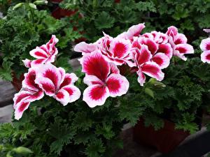 Фото Герань Вблизи Цветы