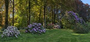 Картинка Германия Парки Рододендрон Бавария Деревья Кусты Bauhofen Природа