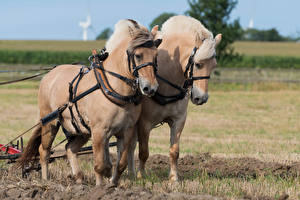 Картинки Лошади Двое животное