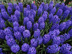 Фотографии Гиацинты Вблизи Фиолетовая цветок