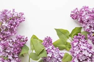 Фото Сирень Белый фон Шаблон поздравительной открытки Ветвь