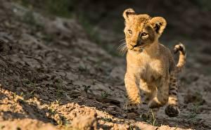 Фото Львы Детеныши Бег Животные