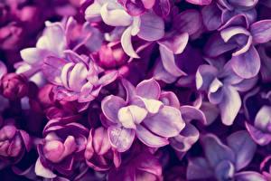 Фотография Макро Вблизи Сирень Фиолетовый Цветы
