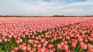 Фото Нидерланды Поля Тюльпаны Много Розовый Цветы