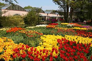 Фотографии Нидерланды Парки Тюльпаны Рябчик Keukenhof Природа Цветы