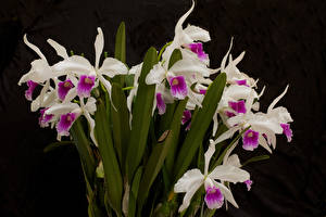 Картинка Орхидеи Вблизи Черный фон