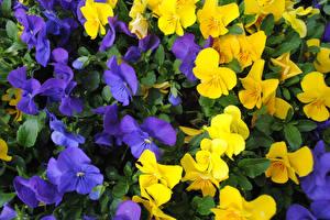 Фото Фиалка трёхцветная Вблизи Цветы