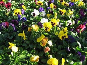 Фотография Фиалка трёхцветная Крупным планом Цветы