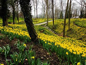 Фото Парки Весенние Нарциссы Много Деревья Природа
