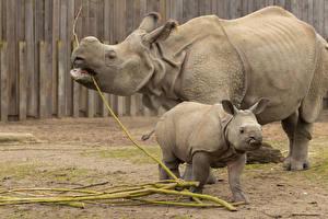 Фотография Носороги Детеныши Вдвоем Животные