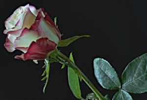 Обои Розы Вблизи Черный фон Цветы