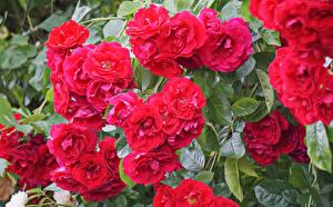 Картинки Розы Крупным планом Красный