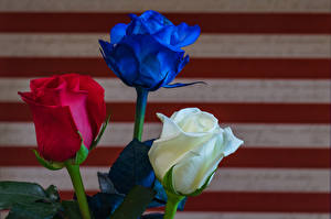 Картинки Розы Вблизи Втроем