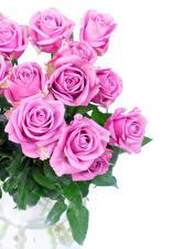 Фотография Розы Вблизи Белый земля Розовый