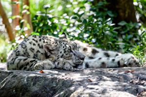 Фотография Барсы Большие кошки Животные
