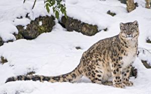 Фотографии Барсы Снег Животные