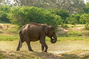 Картинки Шри-Ланка Парки Слоны Сбоку Yala National Park Животные