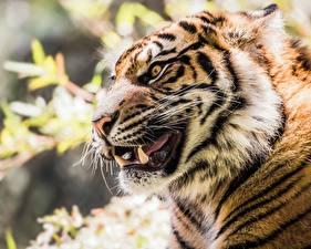 Фотография Тигры Клыки Морда Взгляд Животные