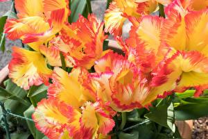 Картинки Тюльпаны Вблизи