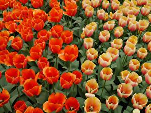 Фотографии Тюльпаны Вблизи Цветы