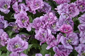 Картинки Тюльпаны Вблизи Фиолетовых цветок