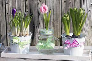 Фотографии Тюльпаны Крокусы Доски Ведро Бантик Банка Цветы