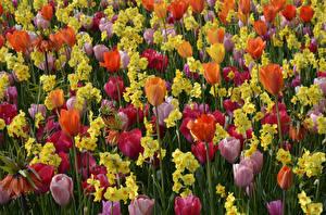 Фото Тюльпаны Нарциссы Много