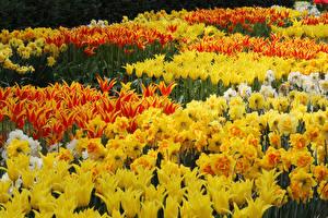 Картинка Тюльпаны Нарциссы Много Желтый цветок