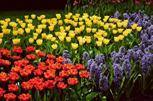 Обои Тюльпаны Гиацинты