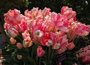 Обои Тюльпаны Розовый